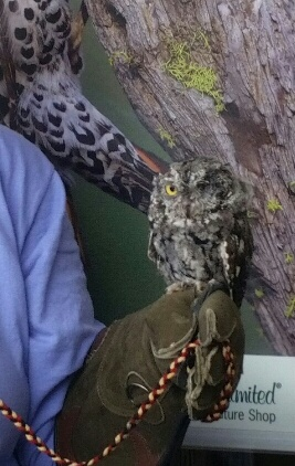 Western Screech Owl Photo By Paula Nixon