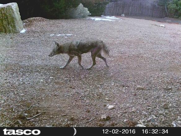 Coyote Photo By: Paula Nixon