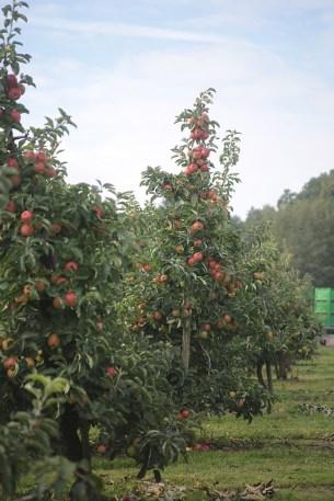 Spalierobstbäume Äpfel