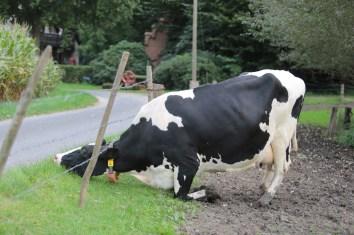 Das Gras auf der anderen Seite des Zauns ist immer grüne - auch für Kühe
