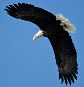 Bald eagle in flight, representing a scene from Nightingale Way, by Emily March