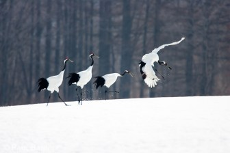 Four Japanese, or Red-crowned Cranes, dance across a snowy field in Japan.