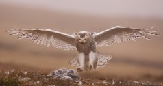 A female Snowy Owl's returns to her nest to look after young.