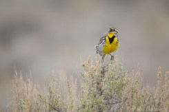 A Western Meadowlark calls to potential mates.