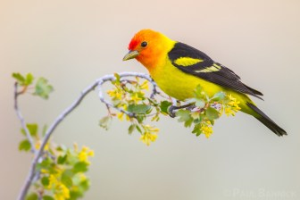 A male Western Tanager perches upon a Golden Currant.