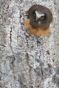 A juvenile Northern Saw-whet Owl peers from its nest cavity in preparation for fledging.