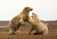 Two Polar Bears play along the ANWR coastal plain.