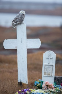 A juvenile Snowy Owl perches upon a tombstone just outside of an Arctic village.