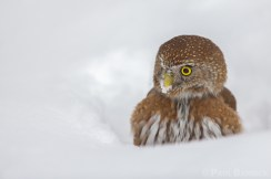 A red-morph Northern Pygmy-Owl takes a momentary break before resuming his efforts to dig up cached prey.