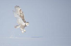 A Snowy Owl takes flight from fresh snow.