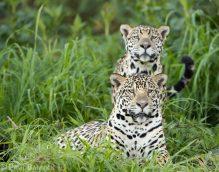 Jaguar siblings rest together along the banks of a Brazilian river.