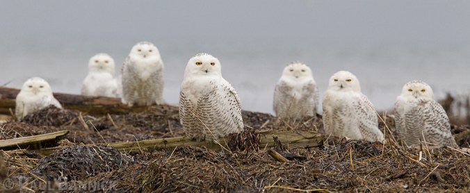 A group of Snowy Owls, also known as a parliament, gathers on a coastal beach.