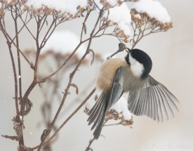 A Black-capped Chickadee kicks snow off of a Yarrow seed head before flying back to seize the seeds.