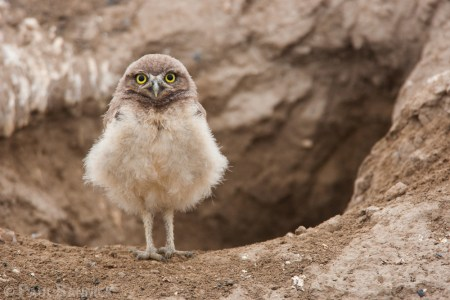 A young Burrowing Owl emerges from the nest at about 10 days old.