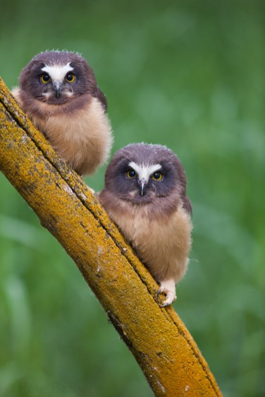 Two fledgling Northern Saw-whet Owls perch under the canopy of a cottonwood tree.
