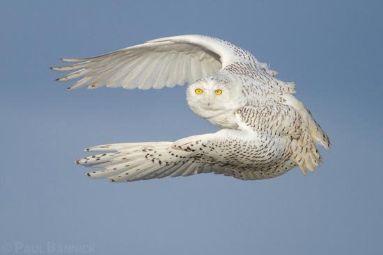 A Snowy Owl, Bubo scandiacus, lifts her body nearly straight up off driftwood and into the air after spotting prey in the distance. Snowy Owls use strong wingbeats to hunt even in the most powerful winds. (Washington)