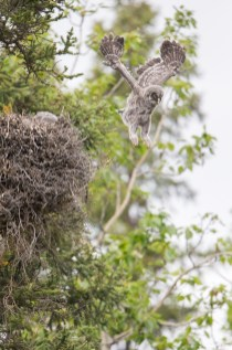 A Great Gray Owl nestling leaps from its nest atop a dwarf mistletoe broom, 50 feet off of the ground. Great Gray Owls leap from the nest when they are about a month old and cannot yet fly.