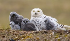 Snowy Owls lay eggs over many days, usually with a day or more between each, resulting in youngsters of various ages, a hedge when food is unpredictable.