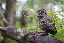 Juvenile Great Gray Owl (8903)