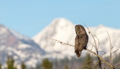 Great Gray Owl (2669)
