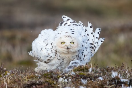 A female Snowy Owl at her nest fluffs out her feathers before settling in to warm her young.