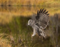 A Great Gray Owl prepares to arrive at a new hunting perch after crossing a river.