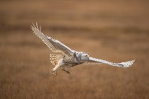Snowy Owl (0262)