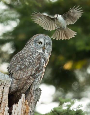 A Canada Jay attacks a calling Great Gray Owl. Since owls occasionally feed upon birds and their young, many bird species instinctively attack owls in an attempt to drive them away, and also as a way to teach inexperienced birds of the danger.