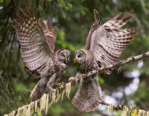 A fraction of a second after delivering prey to his mate, a male Great Gray Owl prepares to resume hunting to provide for his family of four.