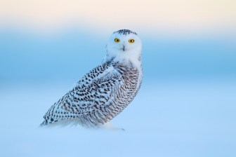 A juvenile Snowy Owl begins hunting at dawn amid the blowing snow.