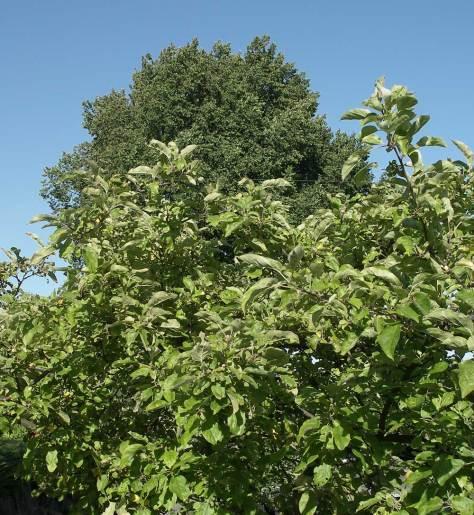 apple-elm-7-4-9-web