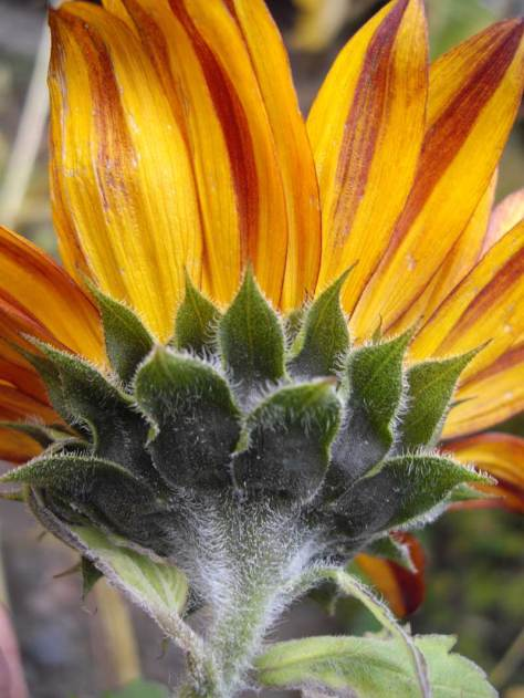Sunflower at Tilth Gardens, Good Shepherd Center, Wallingford Neighborhood, ca. 2009