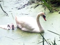 Grenadier Pond with Family of Swans