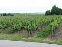Vineyard near Niagara on the Lake