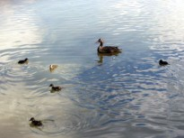 Mother Duck and ducklings swimming together