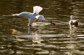 bird diving into water