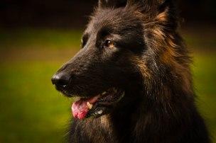 black dog headshot