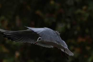 seagull flying at night