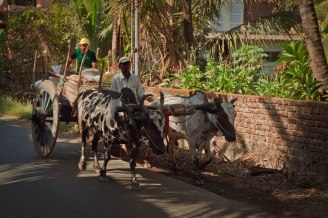 Indian men riding in cart pulled by cows