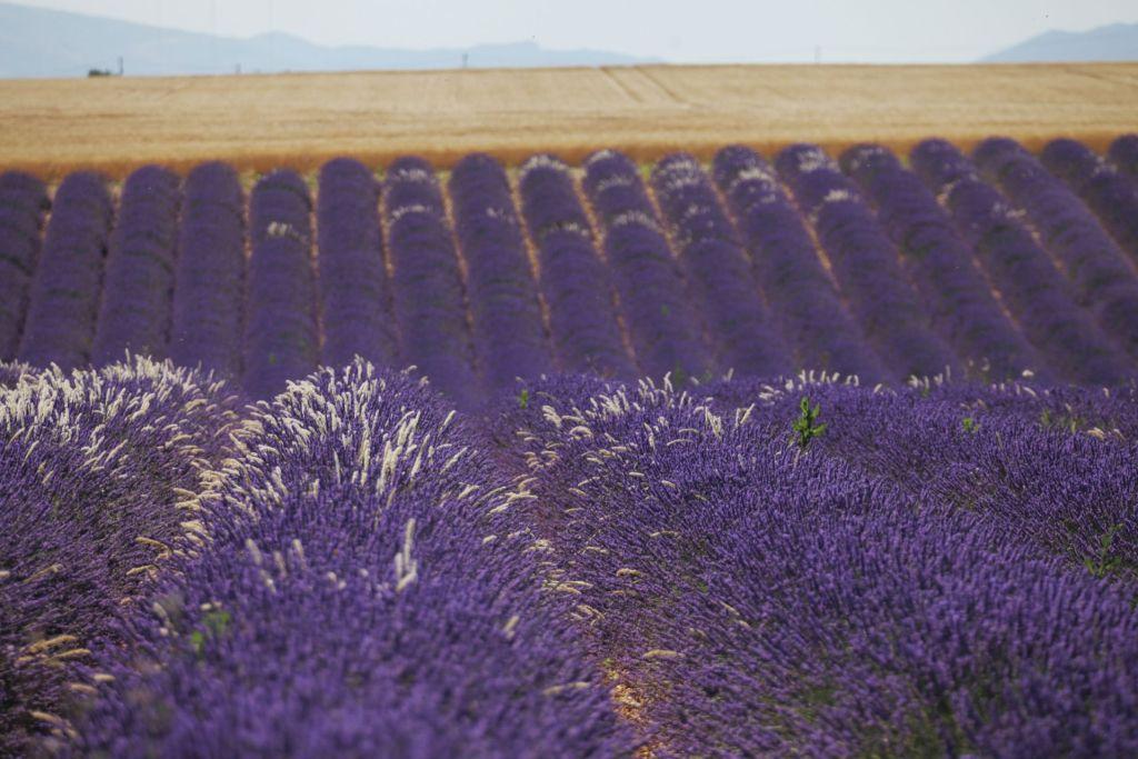 ... und die berühmten Lavendelfelder dürfen antürlich nicht fehlen ••• Champ valensole6©P.Carrese