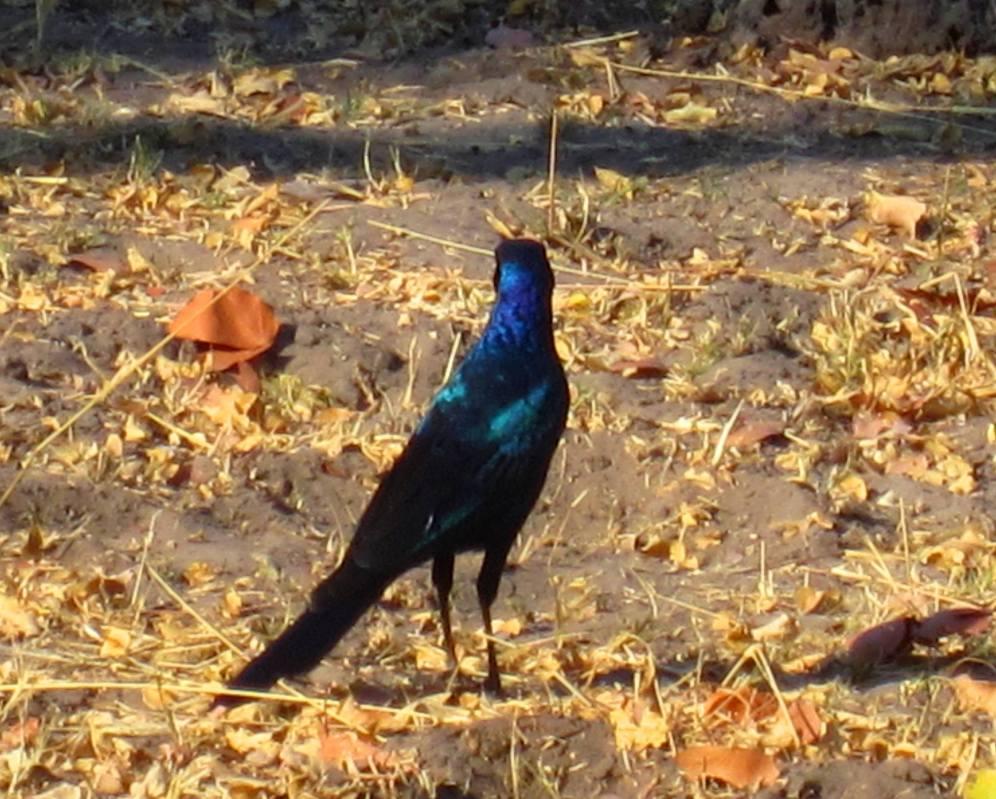 long tailed glossy starling botswana 2