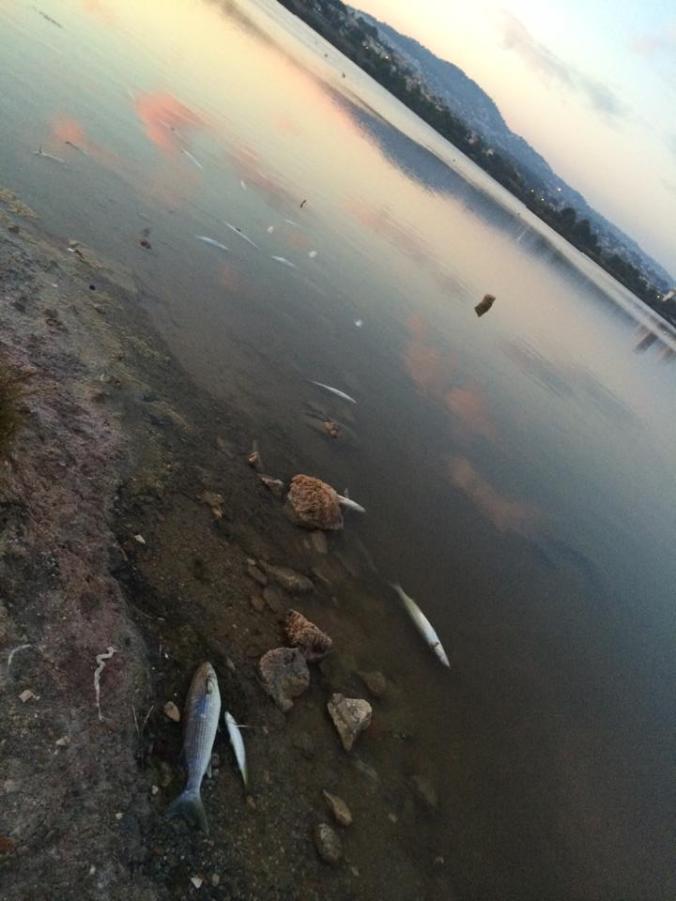 Peces muertos en Las Salinas de Calpe