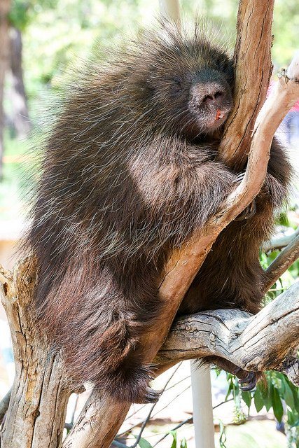porcupine clinging to a tree