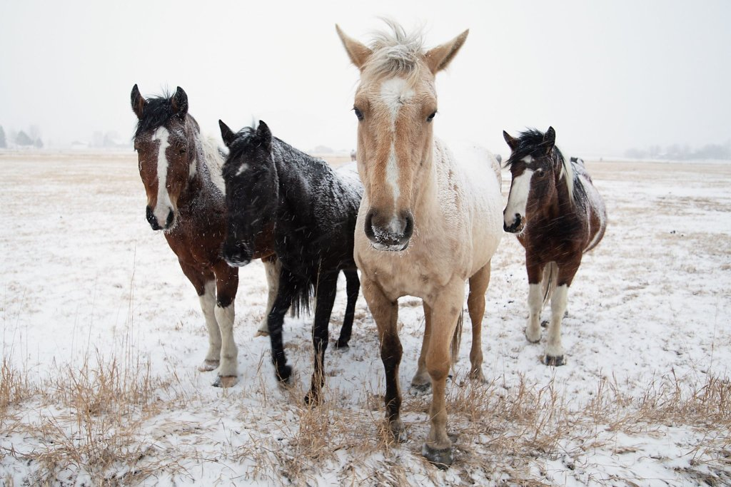 Horse faces in snow