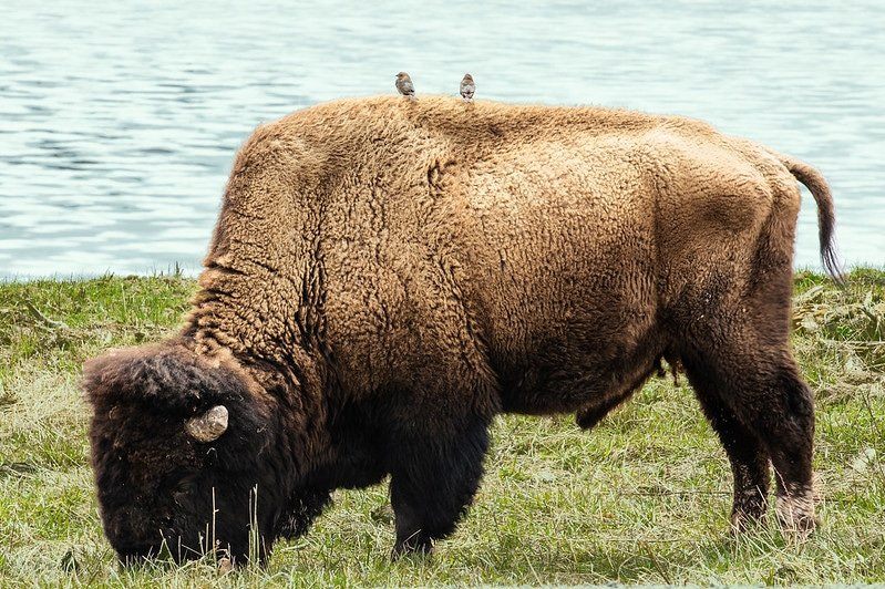 birds on a buffalo