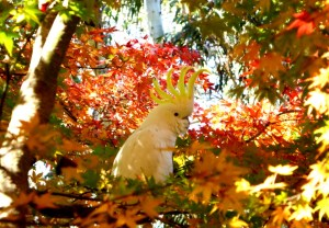Sulphur crested cockatoo in the maples.