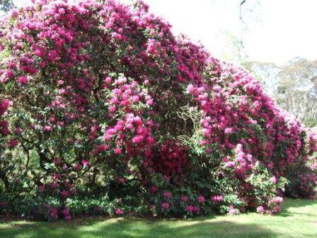 'Tree' Rhododendrons in Memorial Park, Blackheath