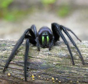 The Tube spider; beware!