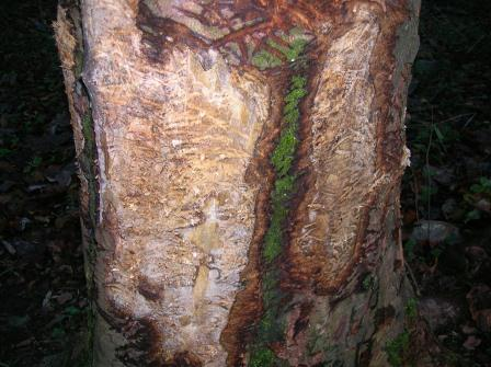 A badger has caused damage all around the trunk of this tree.