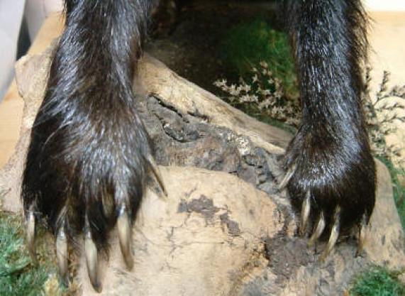The claws of a culprit?